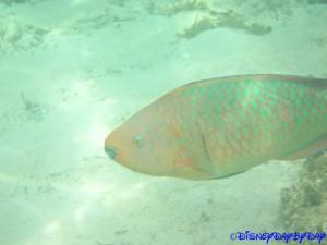Castaway Cay Underwater 27